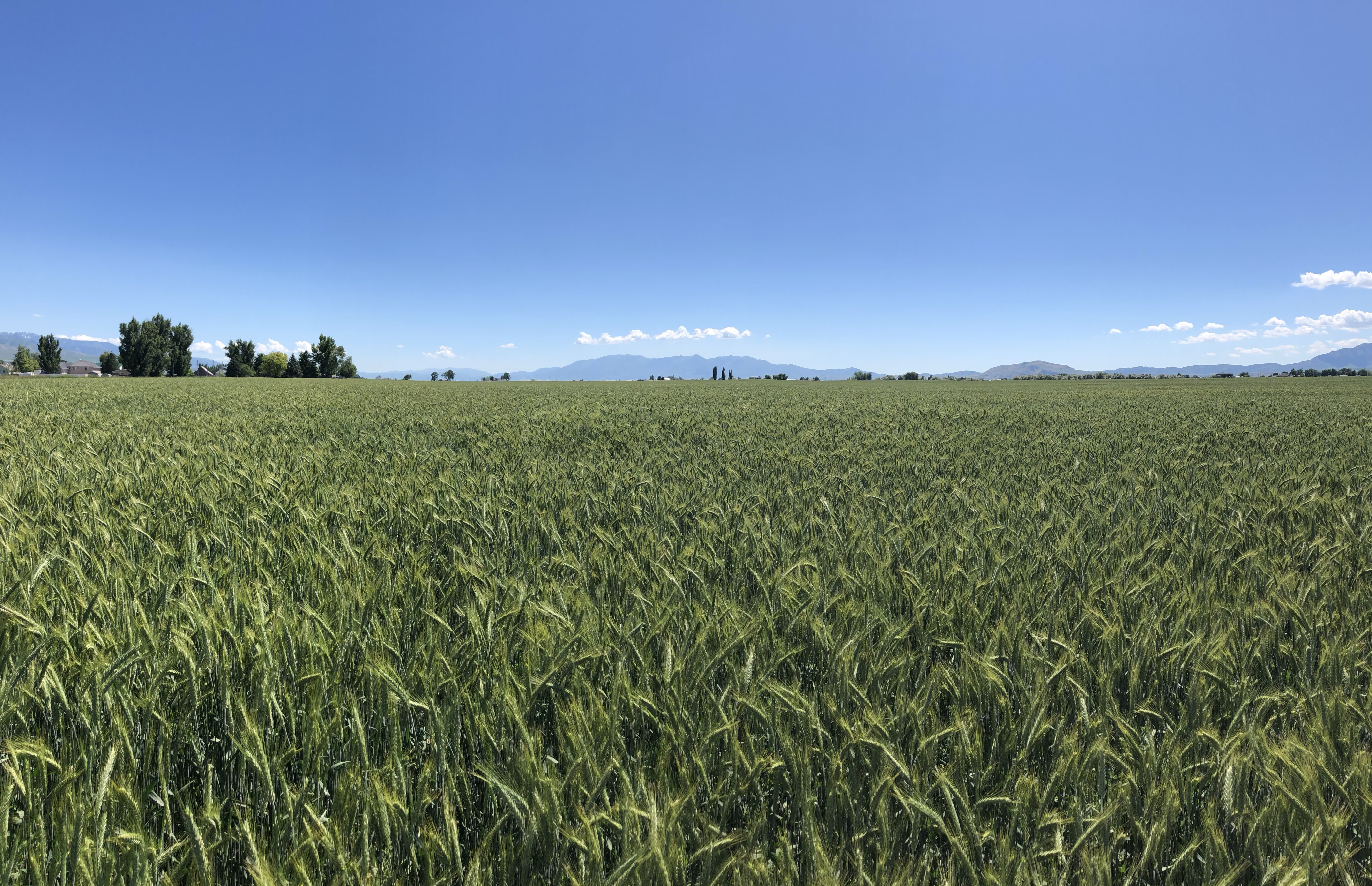 Triticale Field