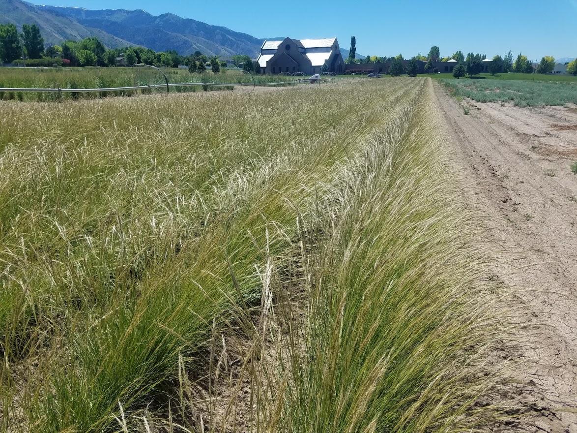 Foundation Grass