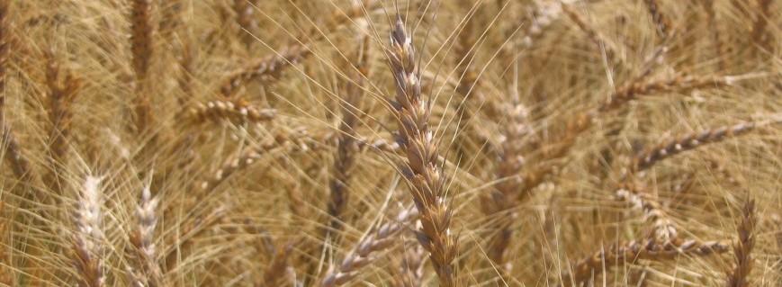 Promontory Wheat