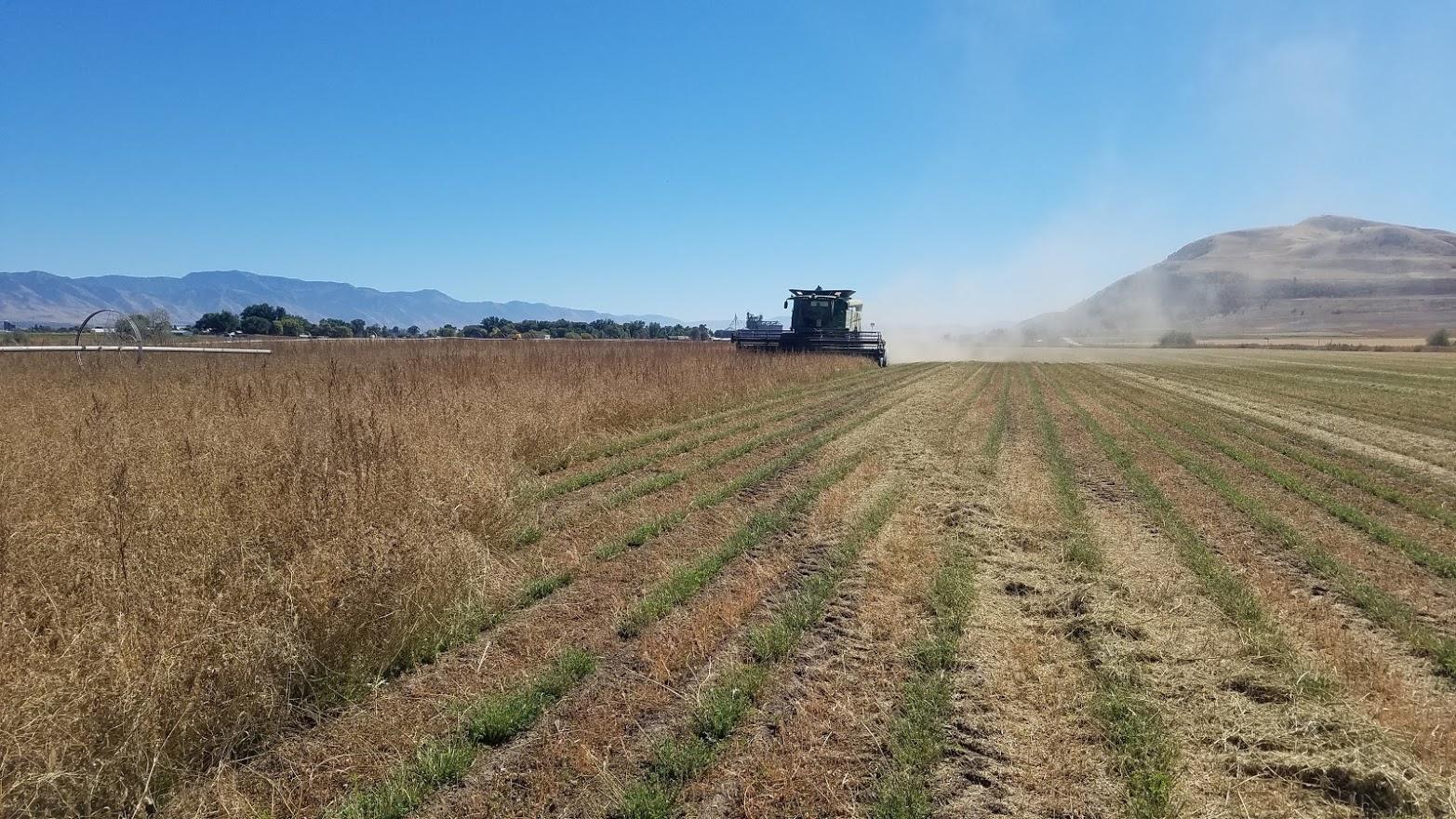 Alfalfa Seed Harvest