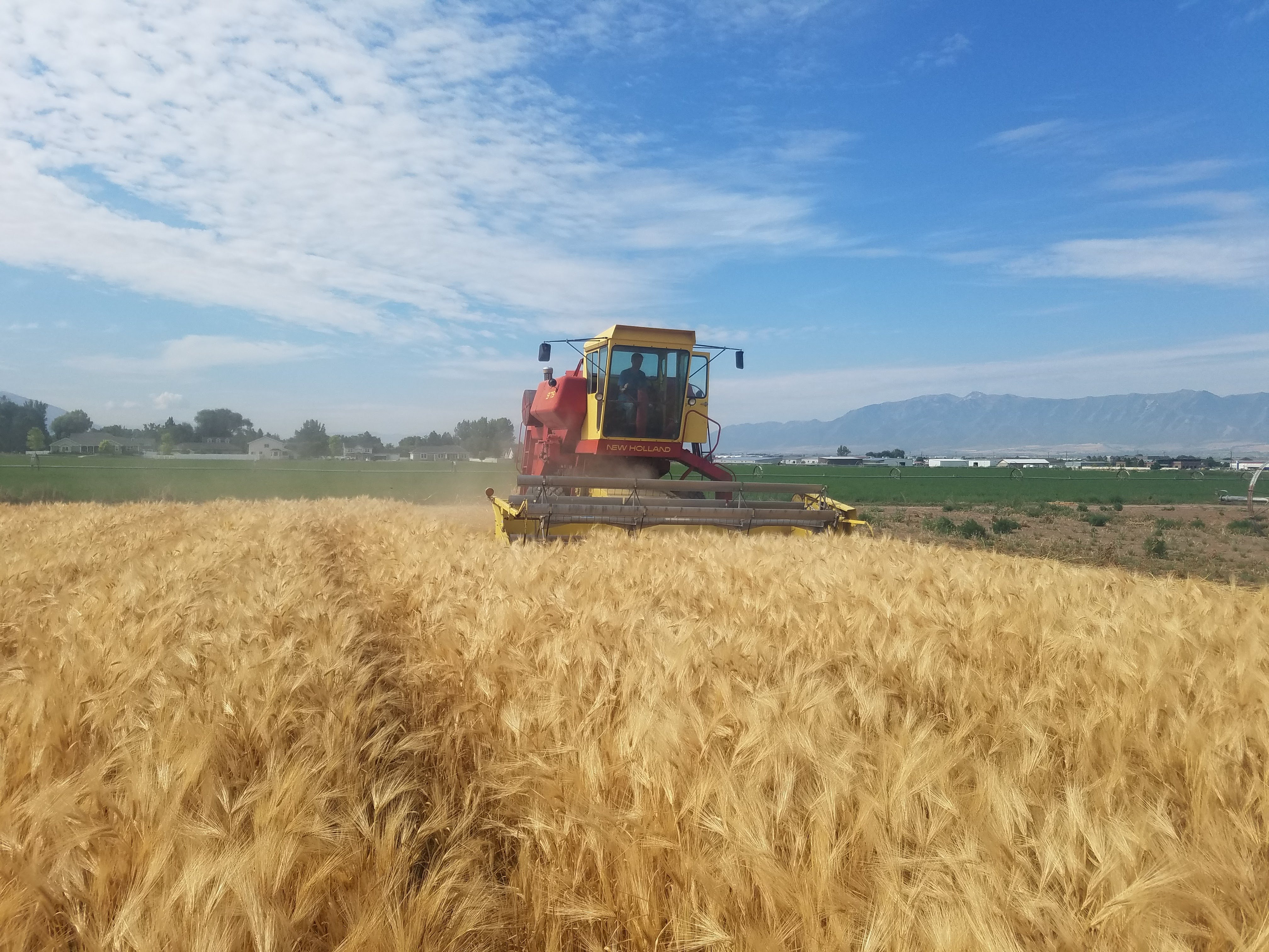 Foundation Seed Plots being harvested