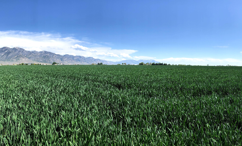 Triticale in Northern Utah